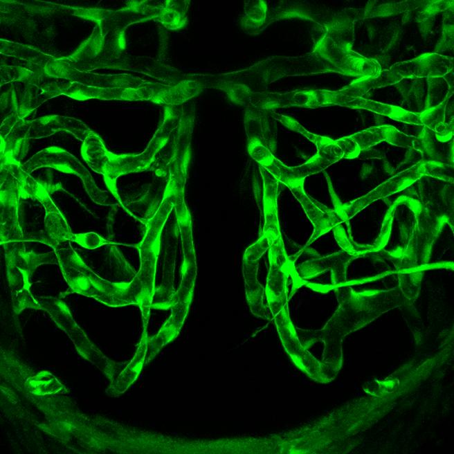 14.2.1 Neural Blood Vessels