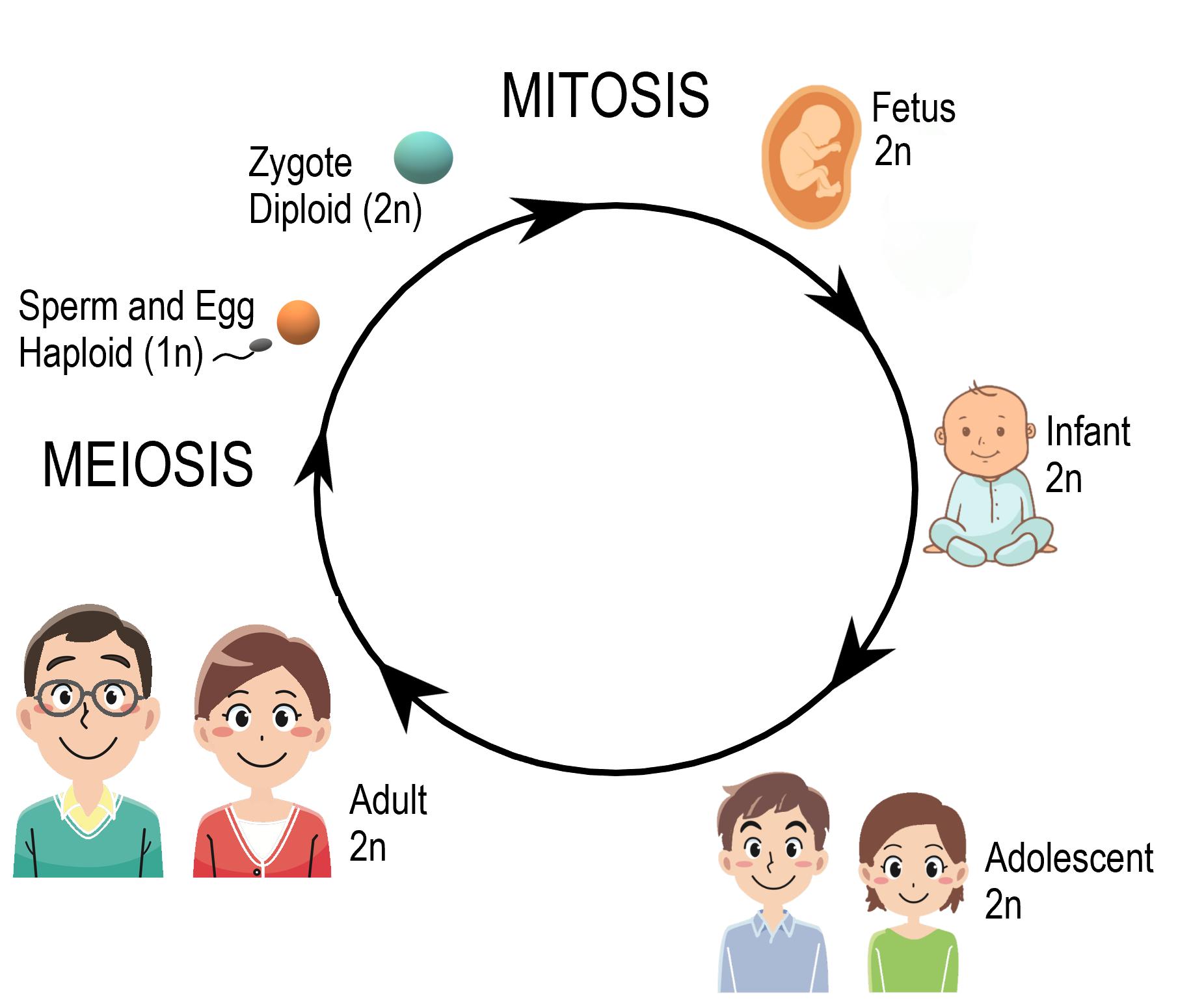 Image illustrates the human life cycle