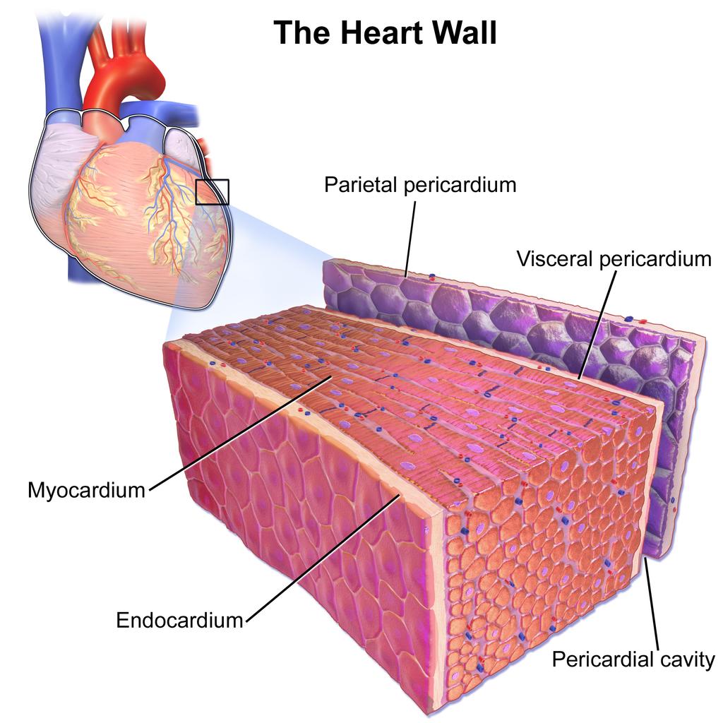 11.3 Cardiac Muscle