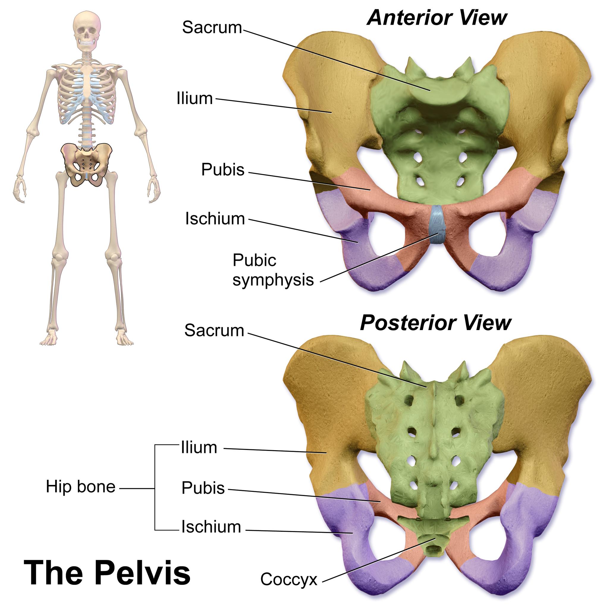 11.3.15 Bones of the Pelvic Girdle