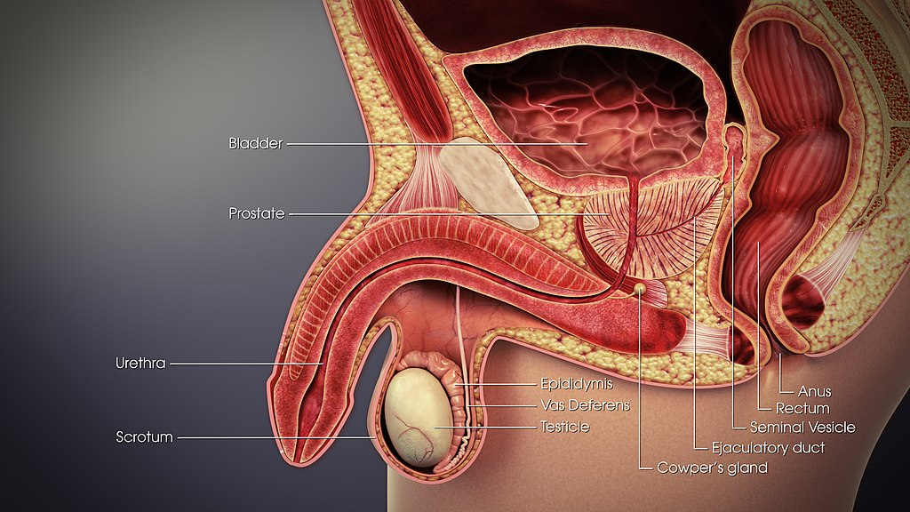18.2.3 Male Reproductive System