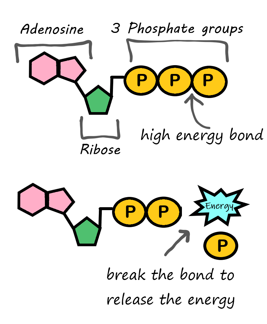 Image shows a diagram of the ATP molecule which consists of adenosine, ribose, and three phosphate groups. When the bond between the second and third phosphate group is broken, energy previously stored in the chemical bonds is released.