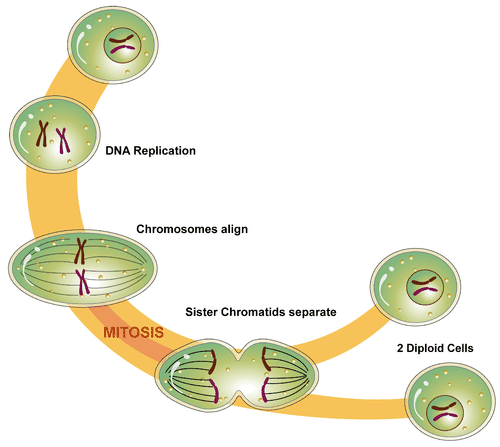 Diagram shows the stages of Mitosis in which DNA replicates, chromosomes align, sister chromatids separate, and then two diploid cell emerge.