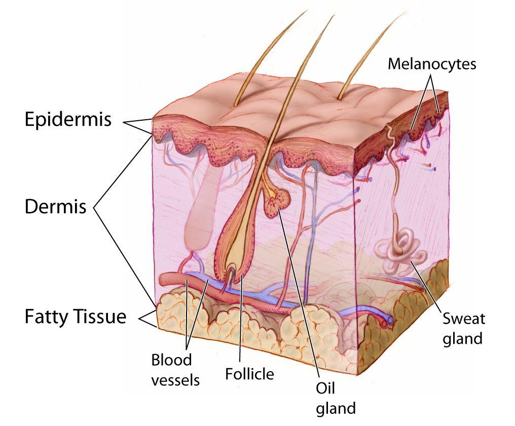 10.4 Skin Glands