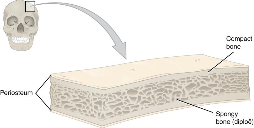 11.4.3 Anatomy of a flat bone
