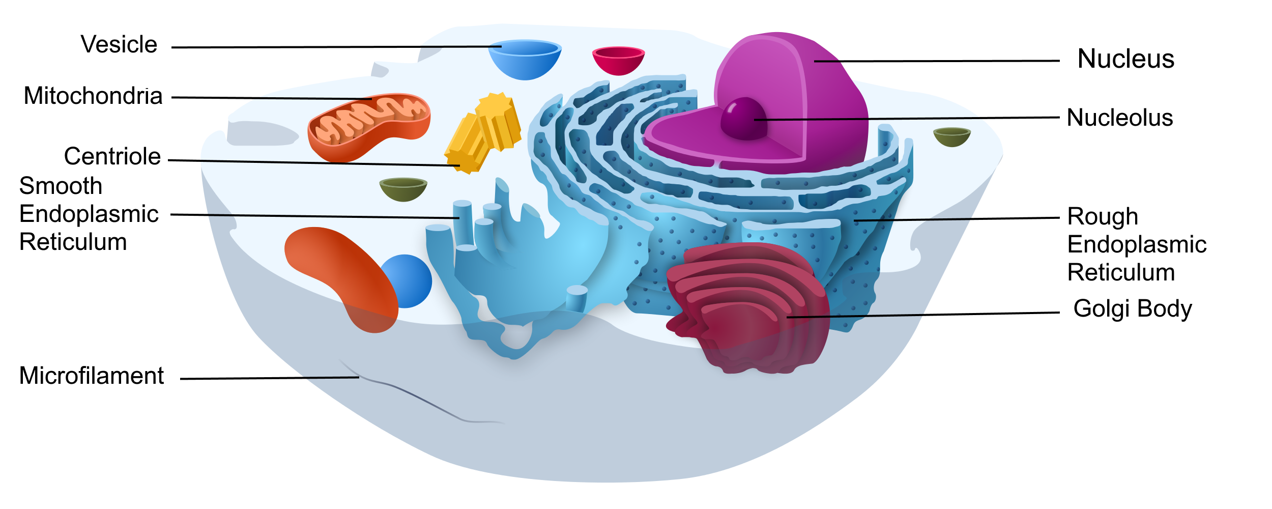 Image shows a diagram of a eukaryotic cell. The cell has many organelles labelled, including: nucleus, nucleolus, rough endoplasmic reticulum, smooth endoplasmic reticulum, Golgi body, vesicles, mitochondria and centrioles.