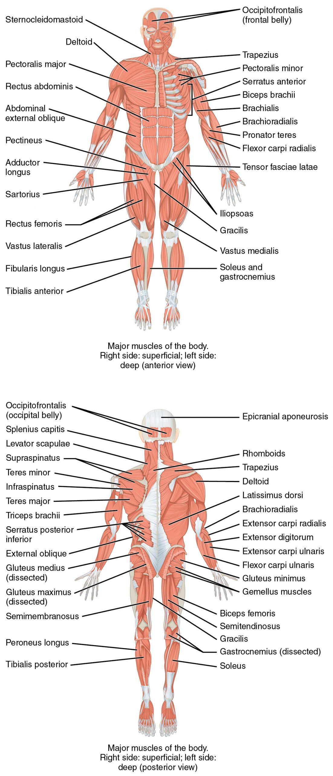 12.4.3 Major Skeletal muscles
