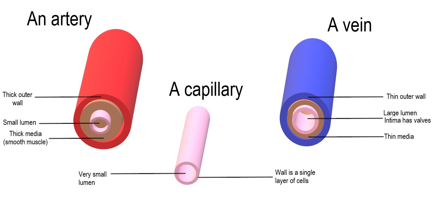 14.4.9 Comparison of arteries, veins, capillaries