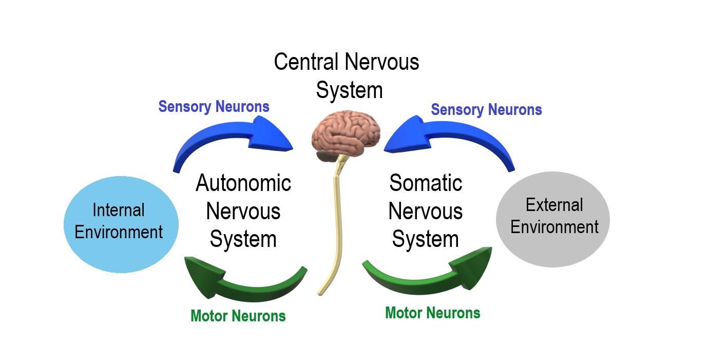 Autonomic and Somatic Nervous System