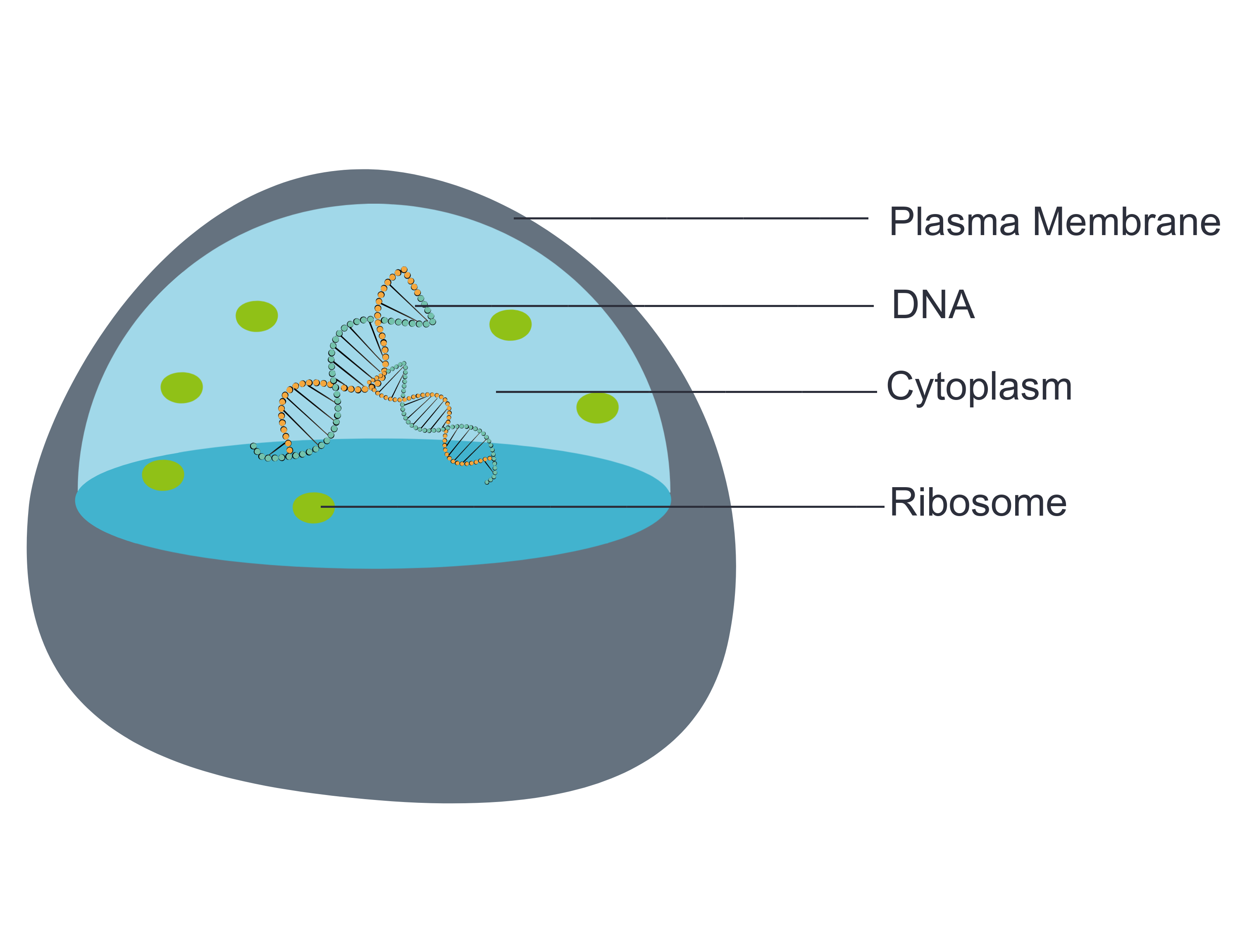 Image shows a diagram of a cell containing the four basic components of a cell: a plasma membrane, DNA, ribosomes and a cytoplasm.