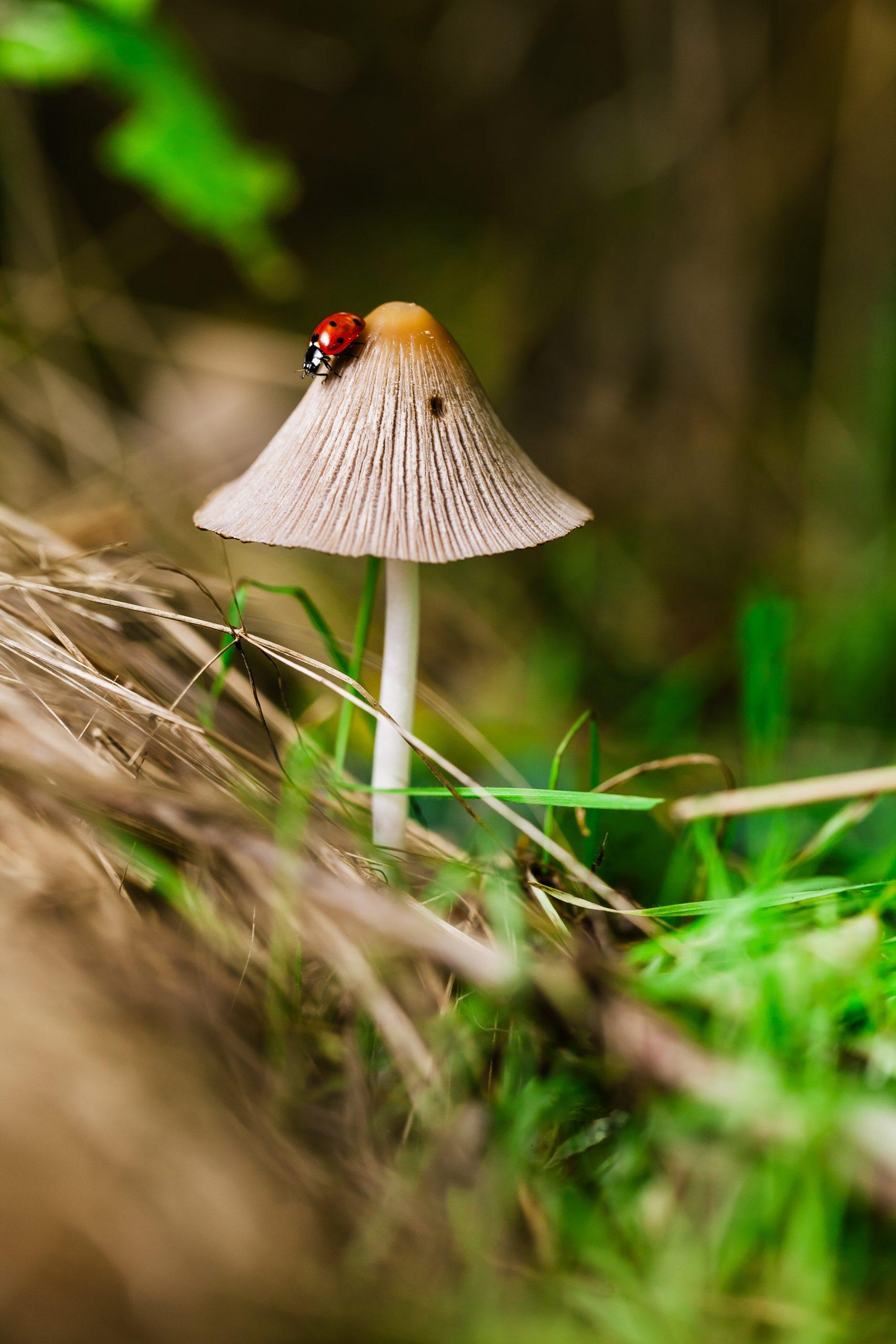 Image shows a ladbug perched on a mushroom.