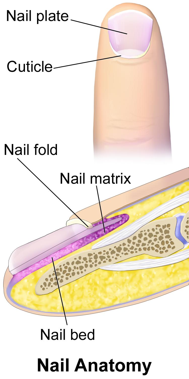 10.5 Nail Anatomy