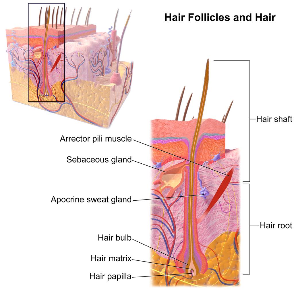 10.5 Hair Follicle
