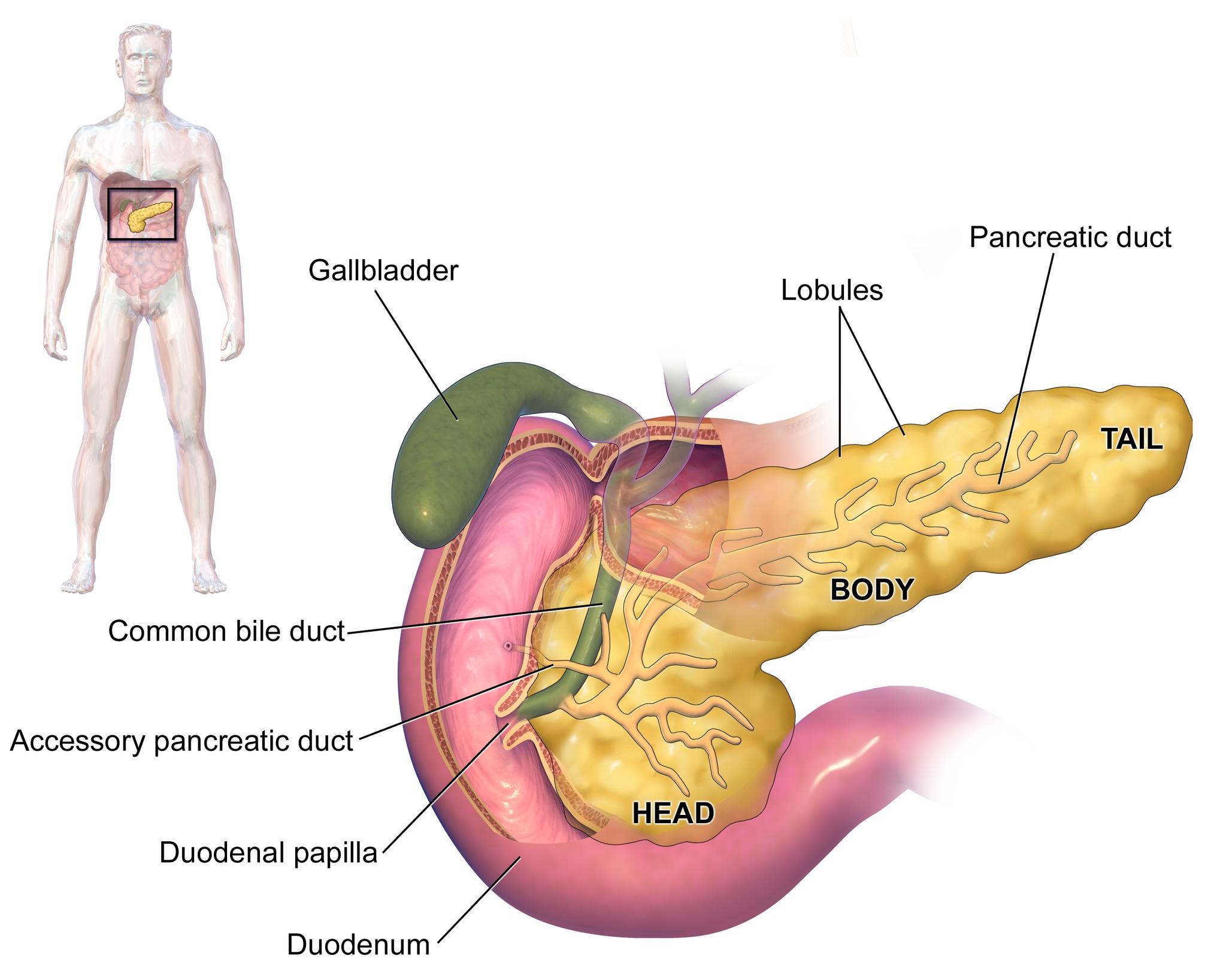 Location of the pancreas