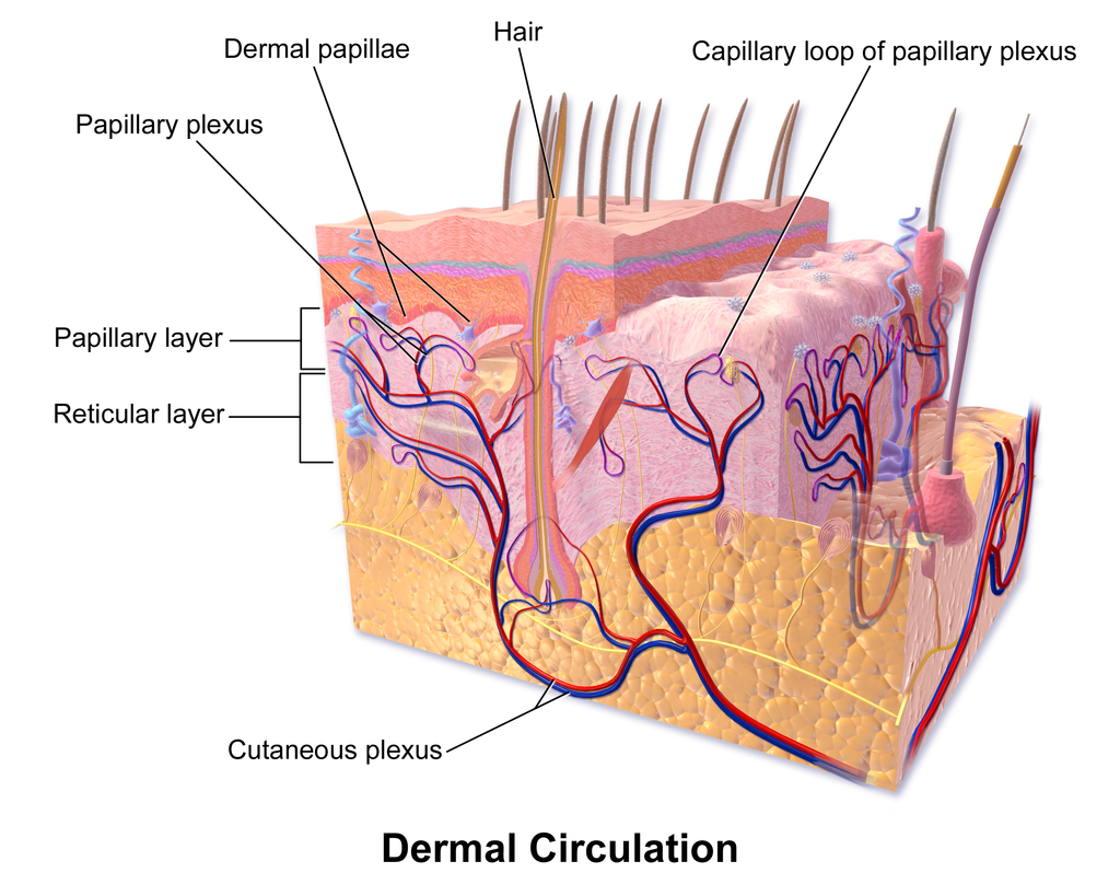 10.3 Dermal Circulation