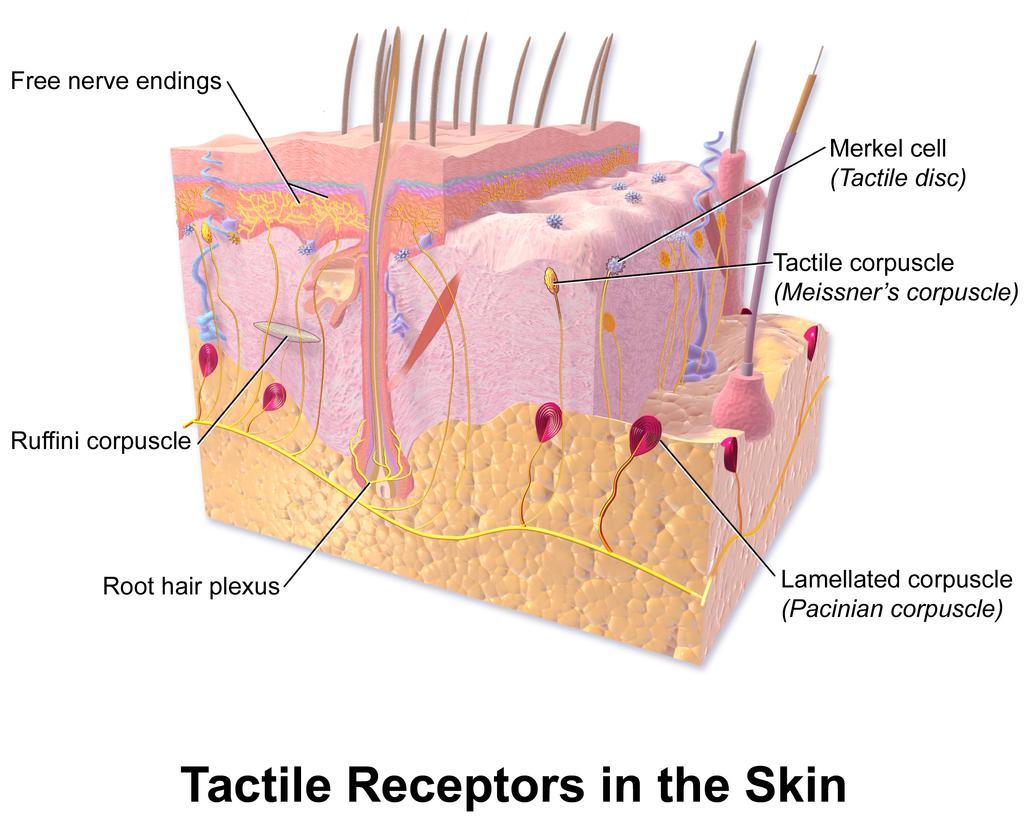 10.4 Tactile Receptors