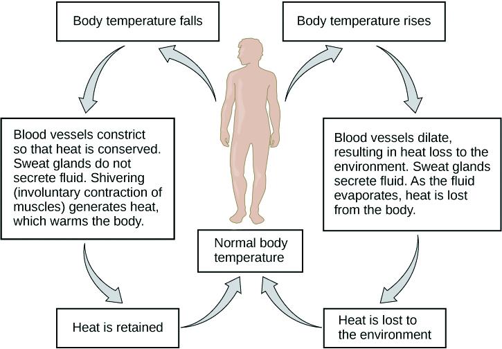 Homeostasis of Body Temperature