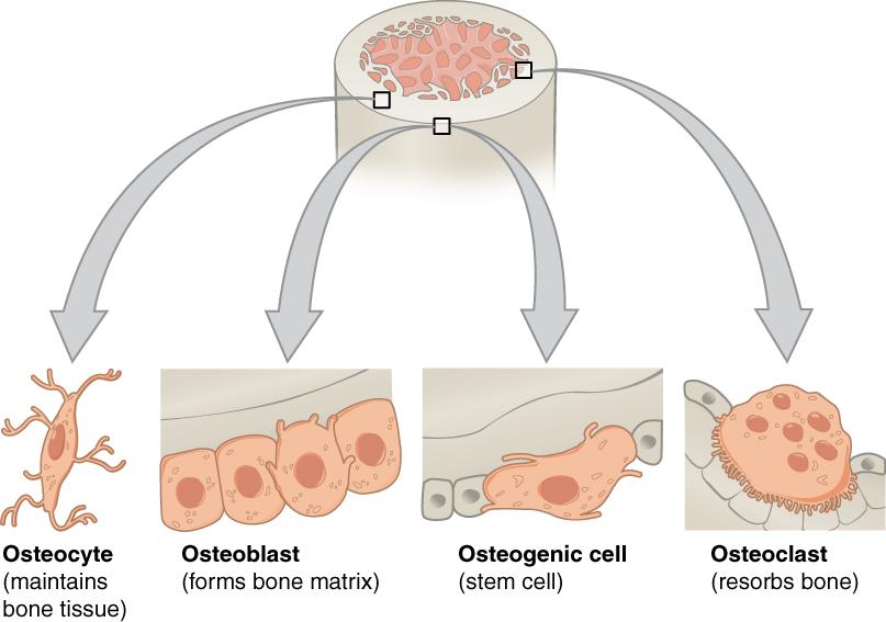 11.4.6 Bone Cells