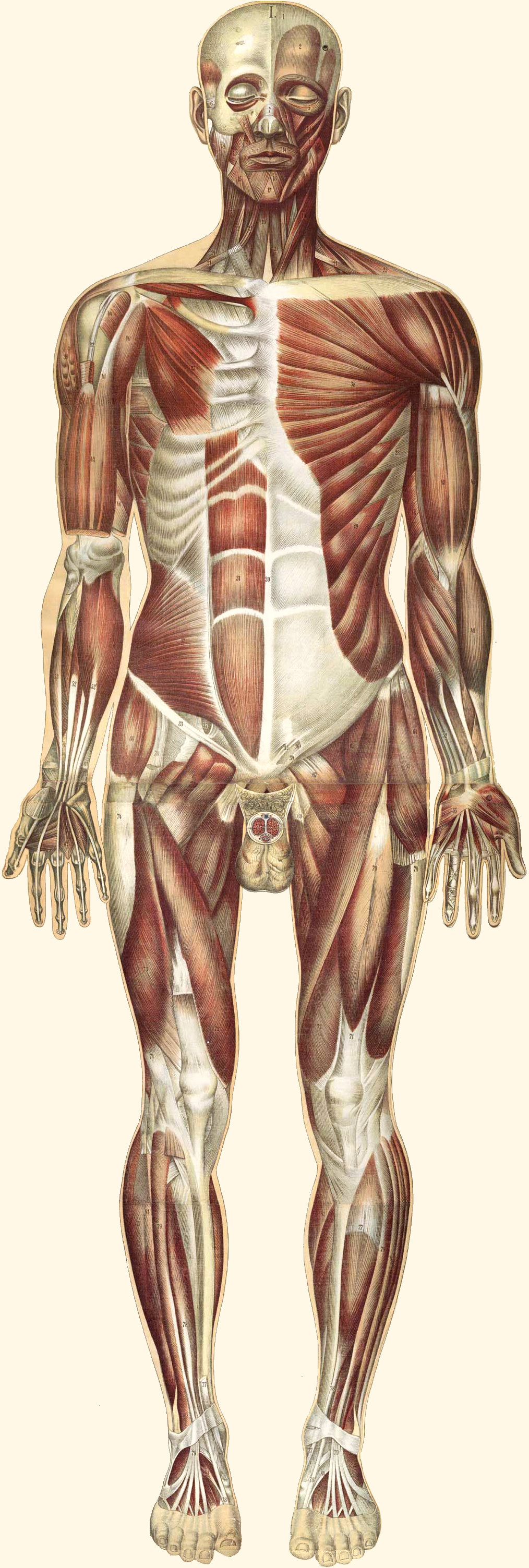 11.2.2 Muscular System