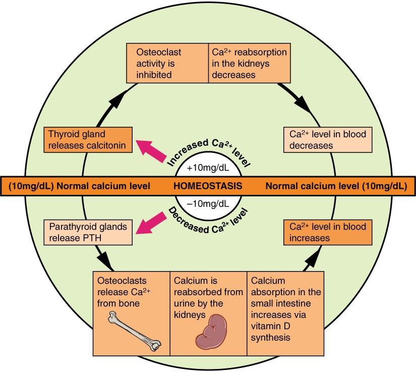 11.5.3 Calcium Homeostasis