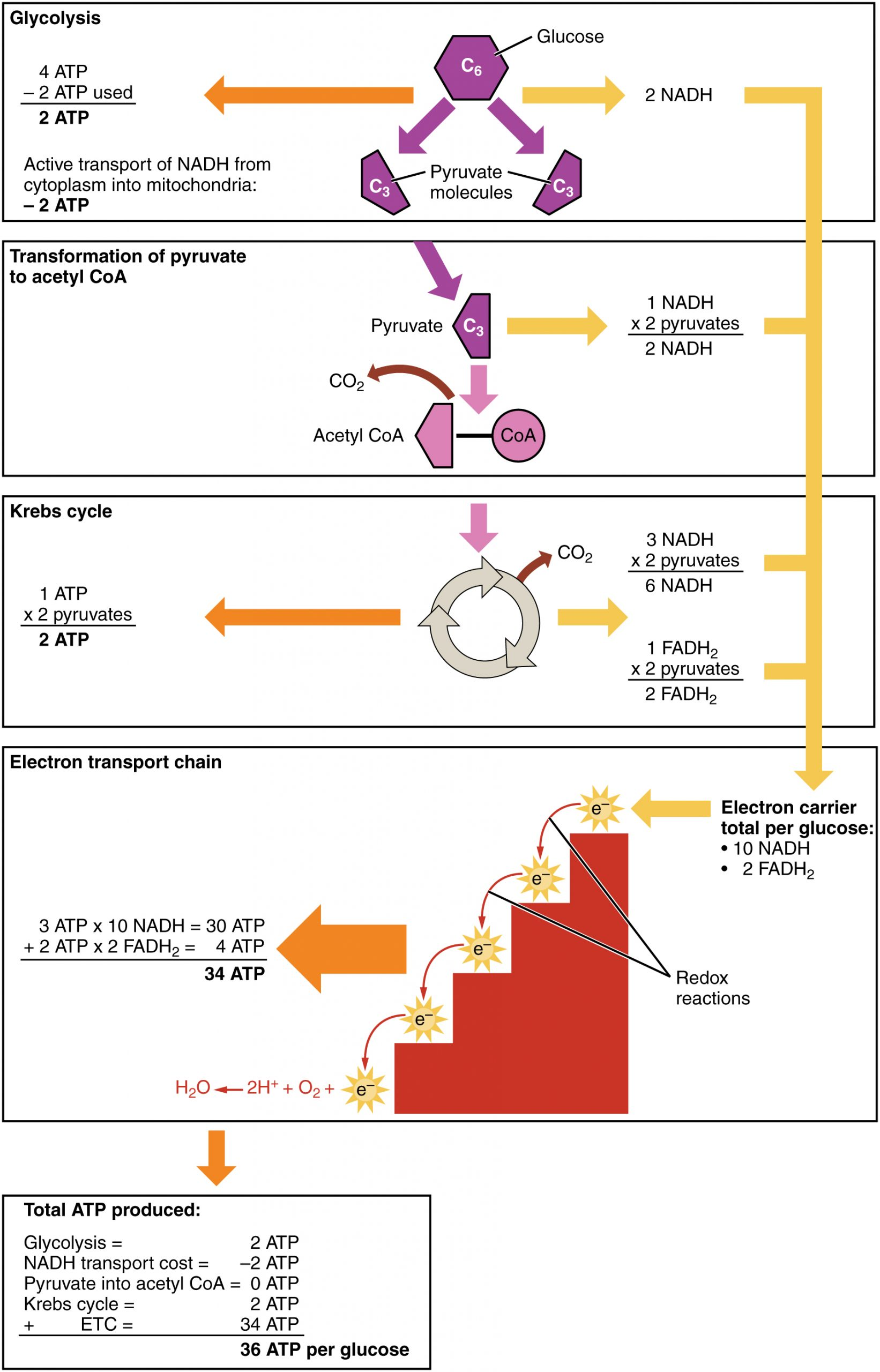 Image shows a diagram of the four stages in cellular respiration: Glycolysis, transition reaction, Kreb's cycle, and the electron transport system.