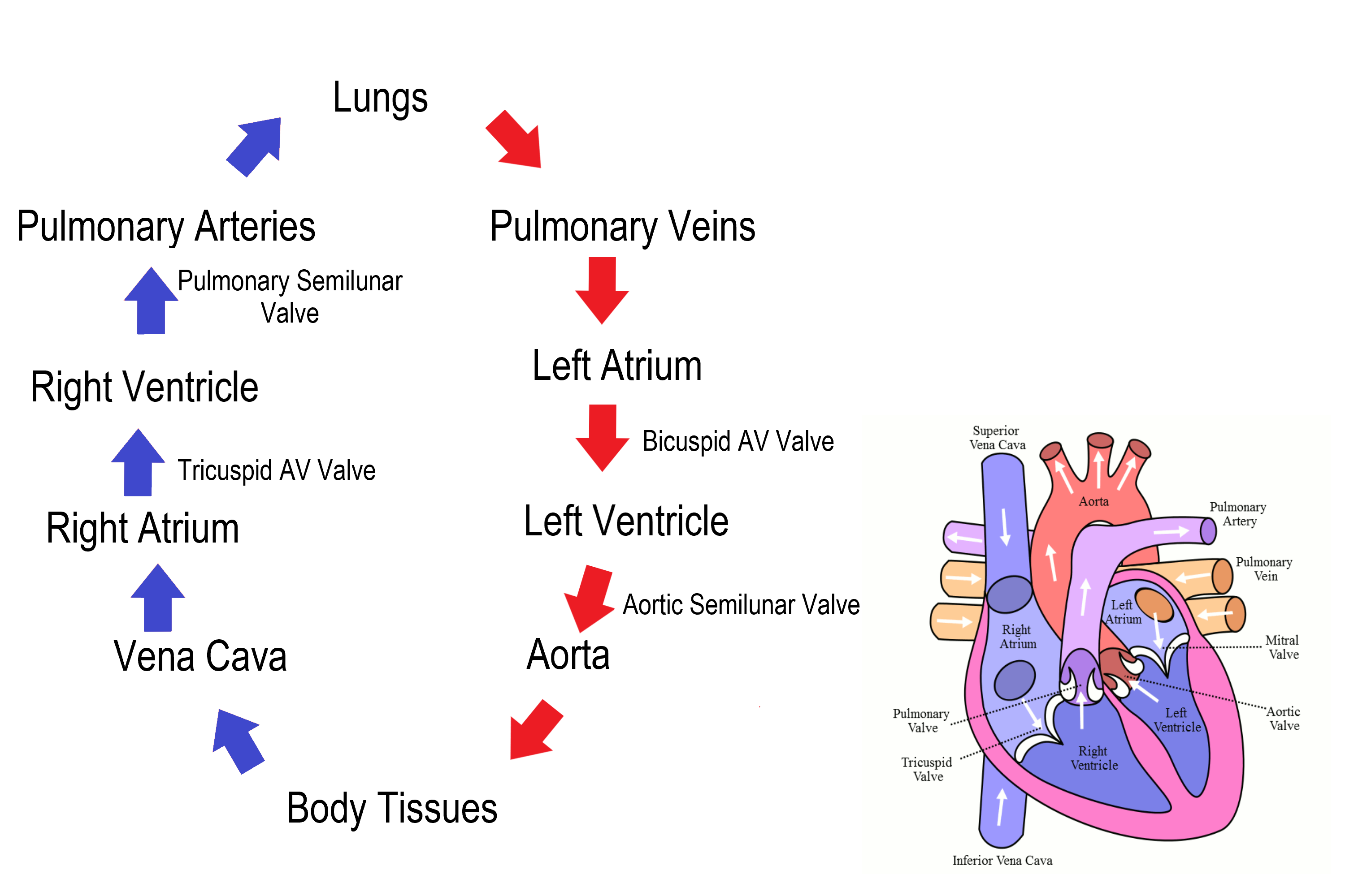 Figure 14.3.7 Path of blood through the heart