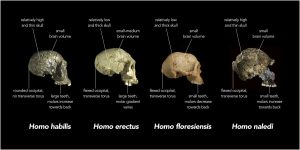 This image shows skulls from four different early hominid groups: Homo erectus, Homo habilis, Homo floresiensis, and Homo naldi. Differences in skull thickness, skull shape, brain size and tooth size are shown.