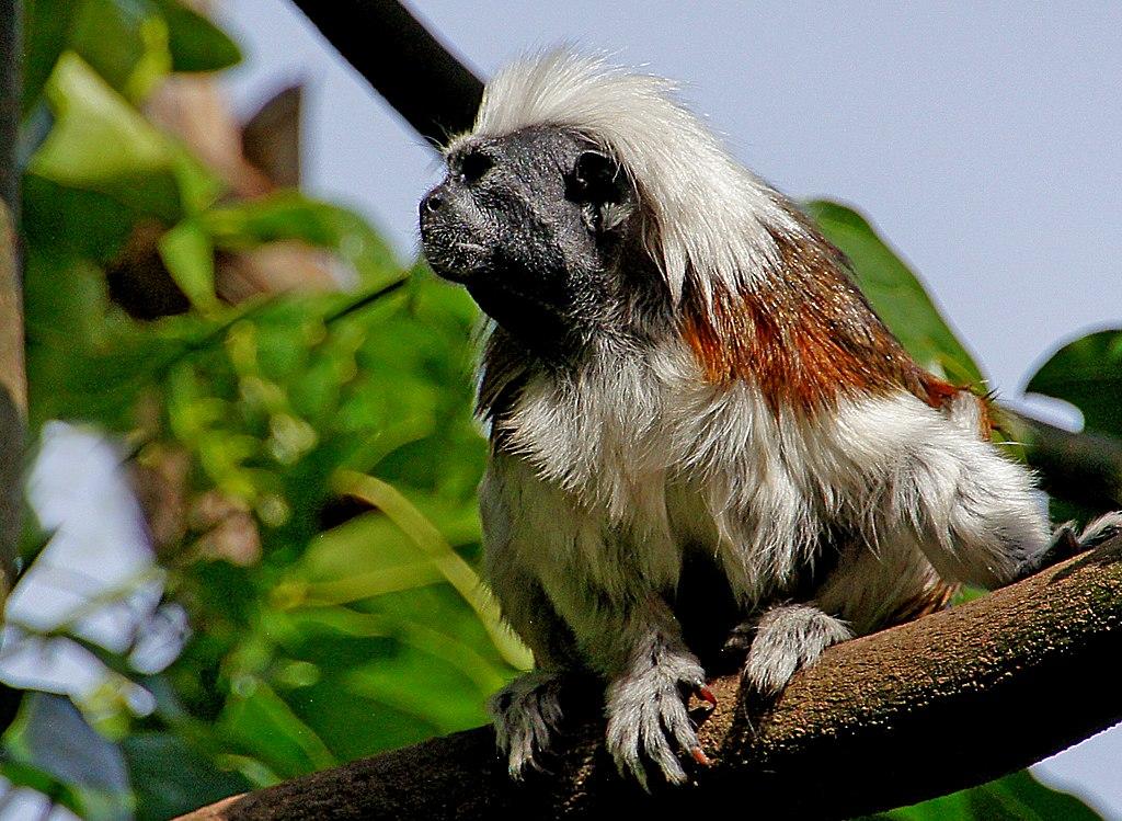 10.5 Straight hair in non-human primates