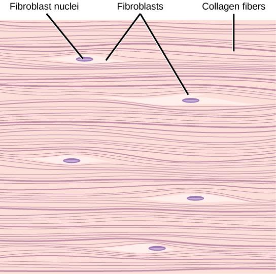 Dense Fibrous Connective Tissue