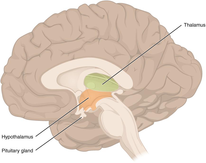 Thalamus and Hypothalamus
