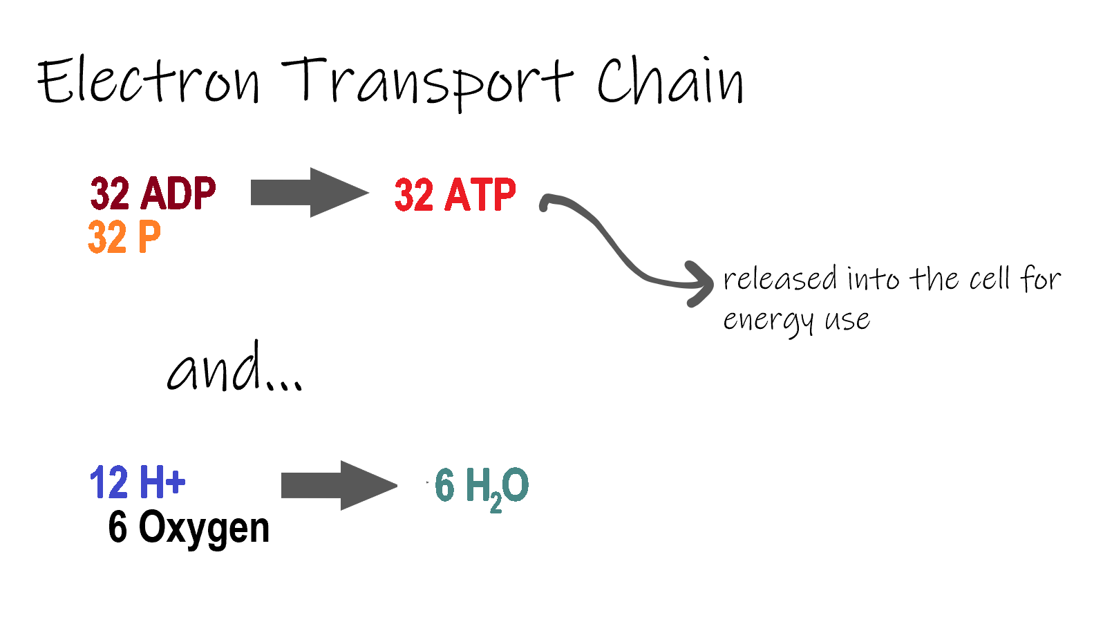 Image shows the reactants and products of the electron transport chain. In this stage, 32 adenosine diphosphate and 32 inorganic phosphates combine to form 32 ATP. In addition, hydrogen and oxygen combine to form 6 molecules of water.