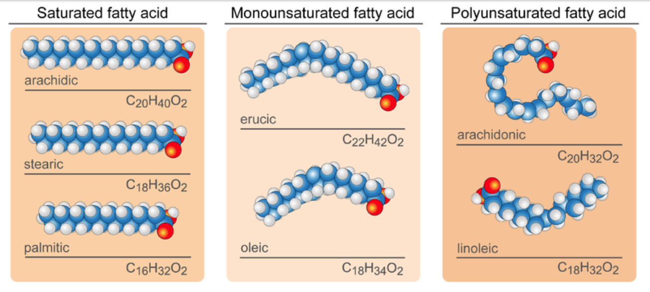 Diagram shows examples of the shapes of different types of fatty acids. Saturated fatty acids form long straight chains. Monounsaturated fatty acids have a slight curve and saturated fatty acids can have multiple curves or bends.
