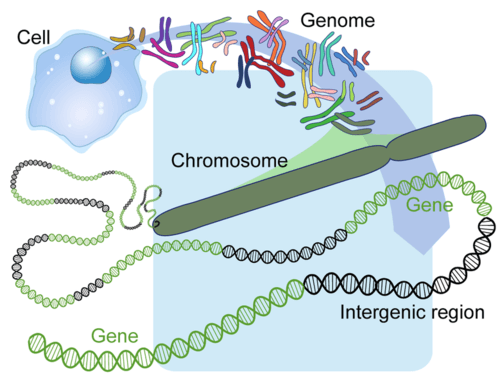 The human genome contains sections of DNA that do not code for proteins, these are called intergenic regions.