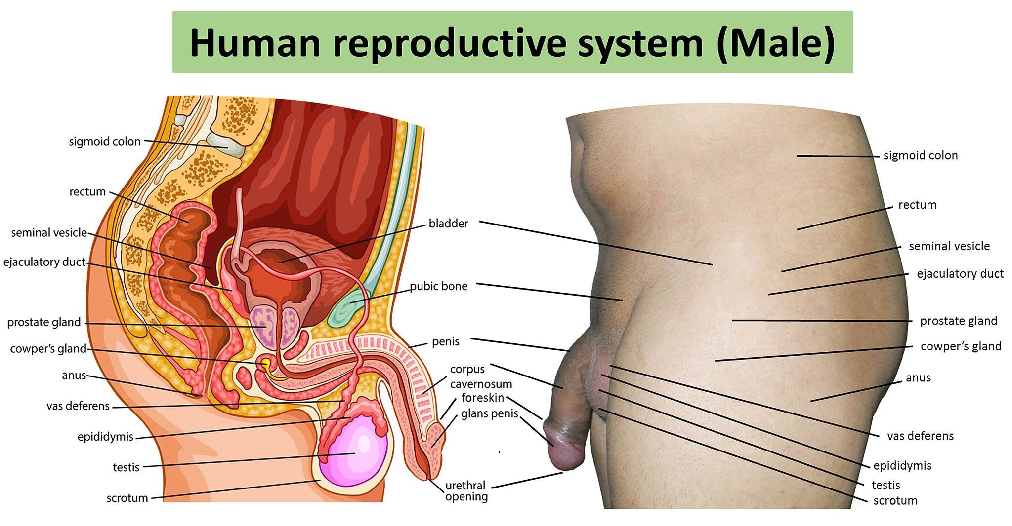 18.3.2 The Male Reproductive System
