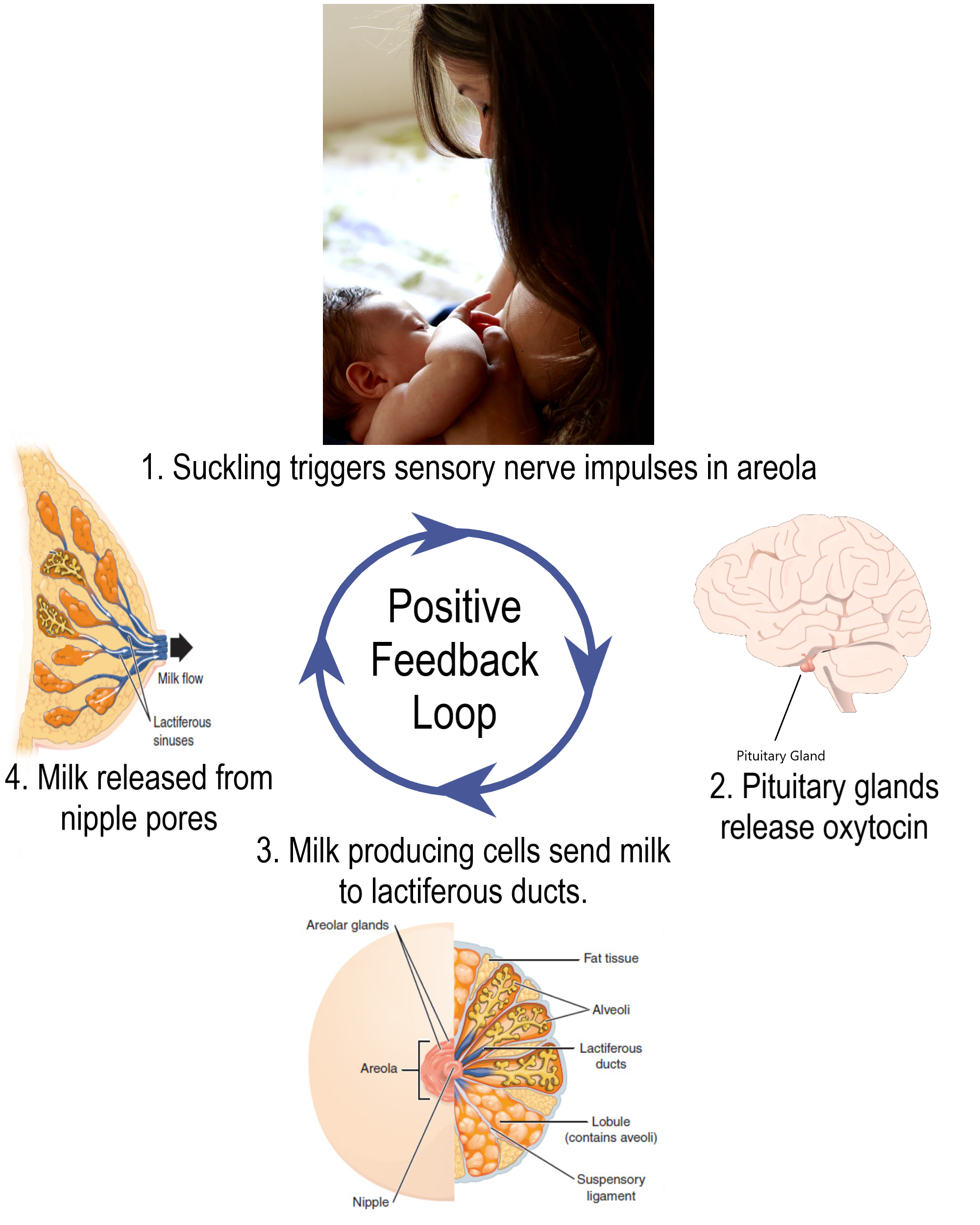 Lactation Positive Feedback Loop