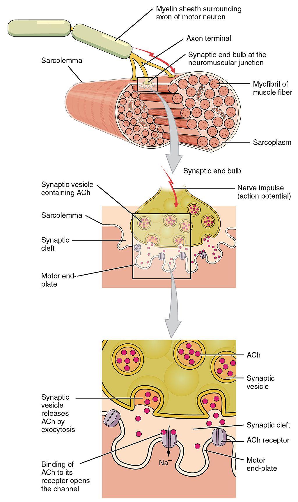 12.4.2 Neuromuscular Junction