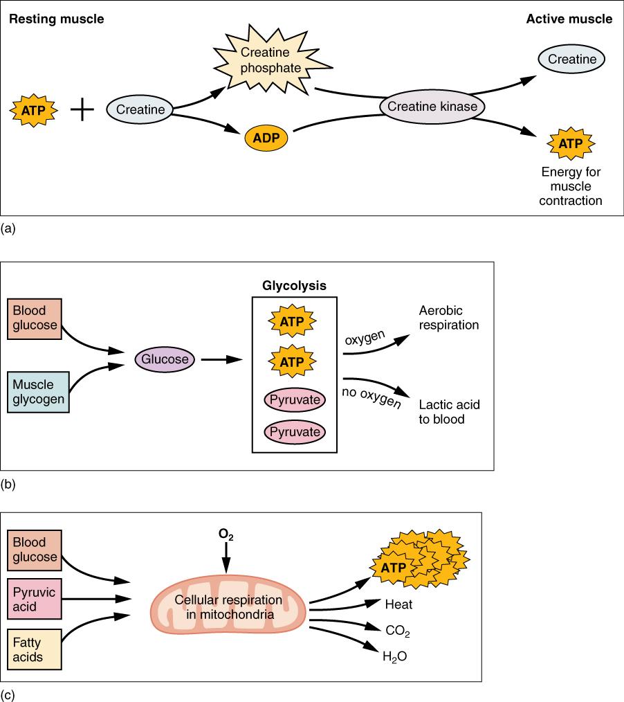 12.4 Muscle Metabolism