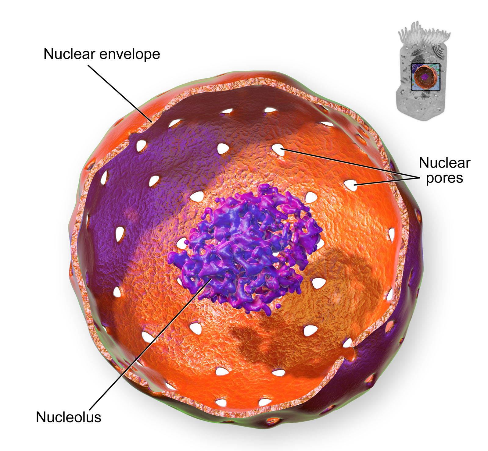 This closeup of a cell nucleus shows that it is surrounded by a structure called the nuclear envelope, which contains tiny perforations, or pores. The nucleus also contains a dense center called the nucleolus.