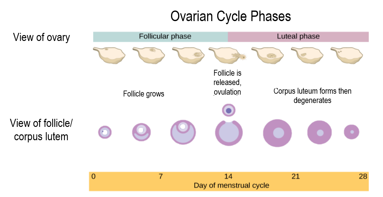 18.8.2 Ovarian Cycle