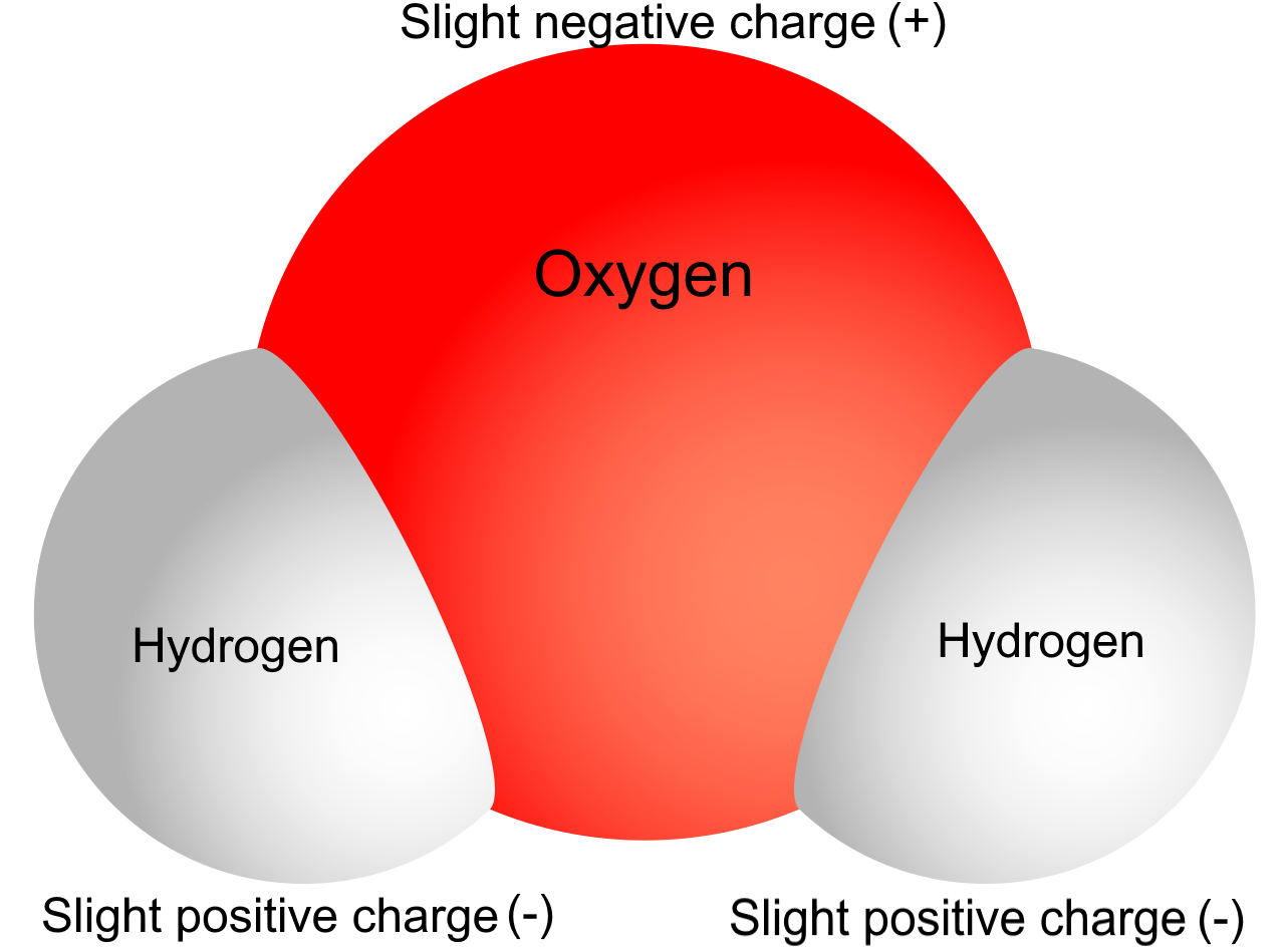 Image shows a diagram of water. It is made of a large central oxygen atom attached to two peripheral hydrogen atoms. The oxygen atom has a slight negative charge, and the two hydrogen atoms have a slight positive charge.