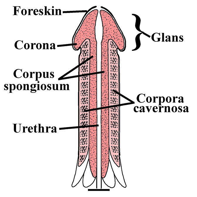 18.3.7 Penis Structures