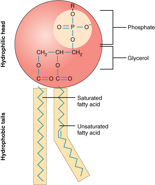 Image shows a model of a phospholipid molecule. The phosphate group is at the top of the diagram, it is connected to a glycerol molecule below. The phosphate and glycerol molecule are grouped together and enclosed in a red circle. Two fatty acids are hanging below, attached to two neighbouring carbons on the glycerol molecule. The diagram notes that the glycerol/phosphate portion of the molecule is hydrophilic, and the fatty acids are hydrophobic.