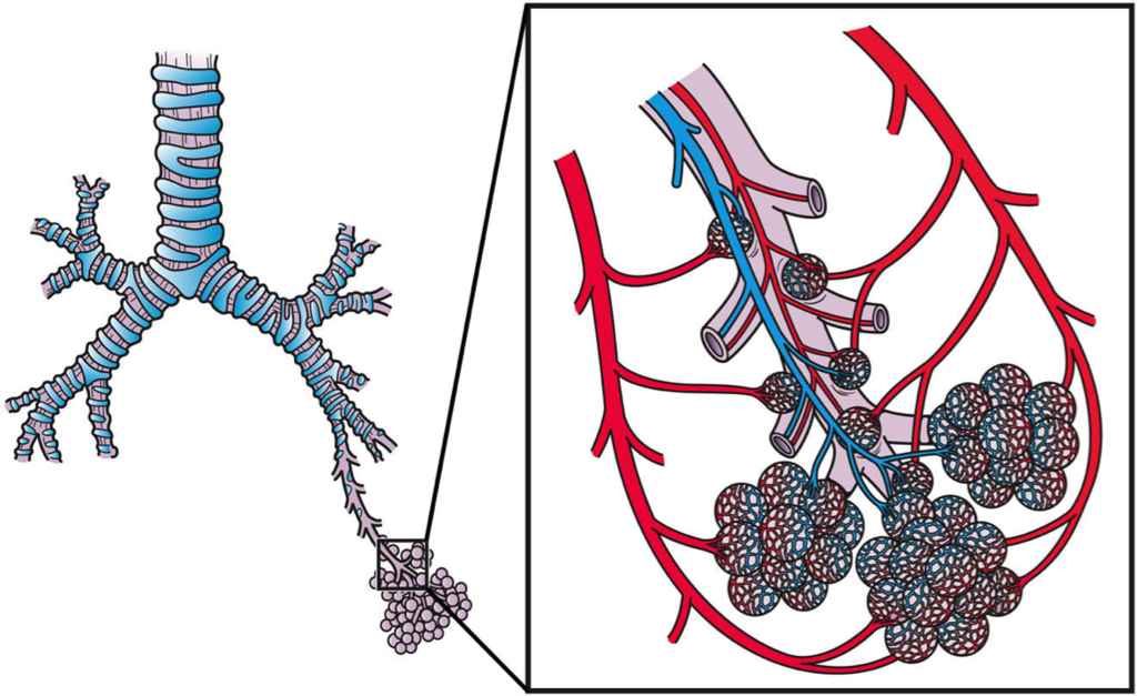 14.2.7 Pulmonary Circulation at the Alveoli