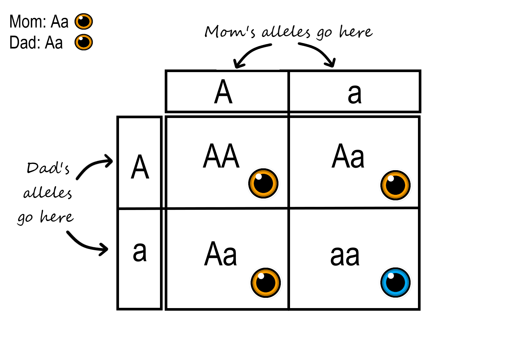 Image shows a sample of a Punnett Square