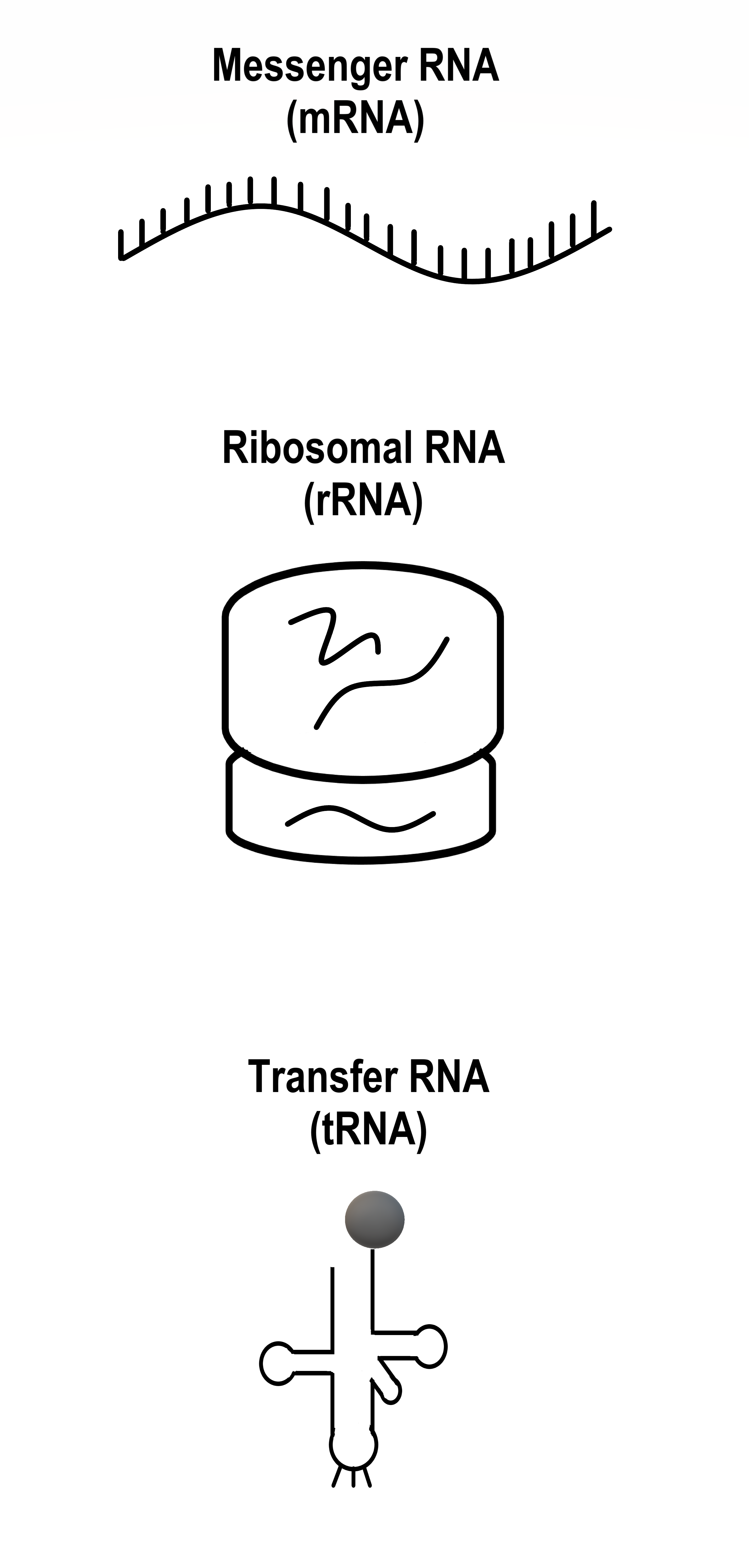 Image shows a diagram of the three types of RNA: Messenger RNA, which is a single strand of RNA, Ribosomal RNA, which is an RNA-protein complex with two subunits, and transfer RNA, which is a single strand of RNA enfolded on itself with an anticodon region and a region which can carry a single amino acid.