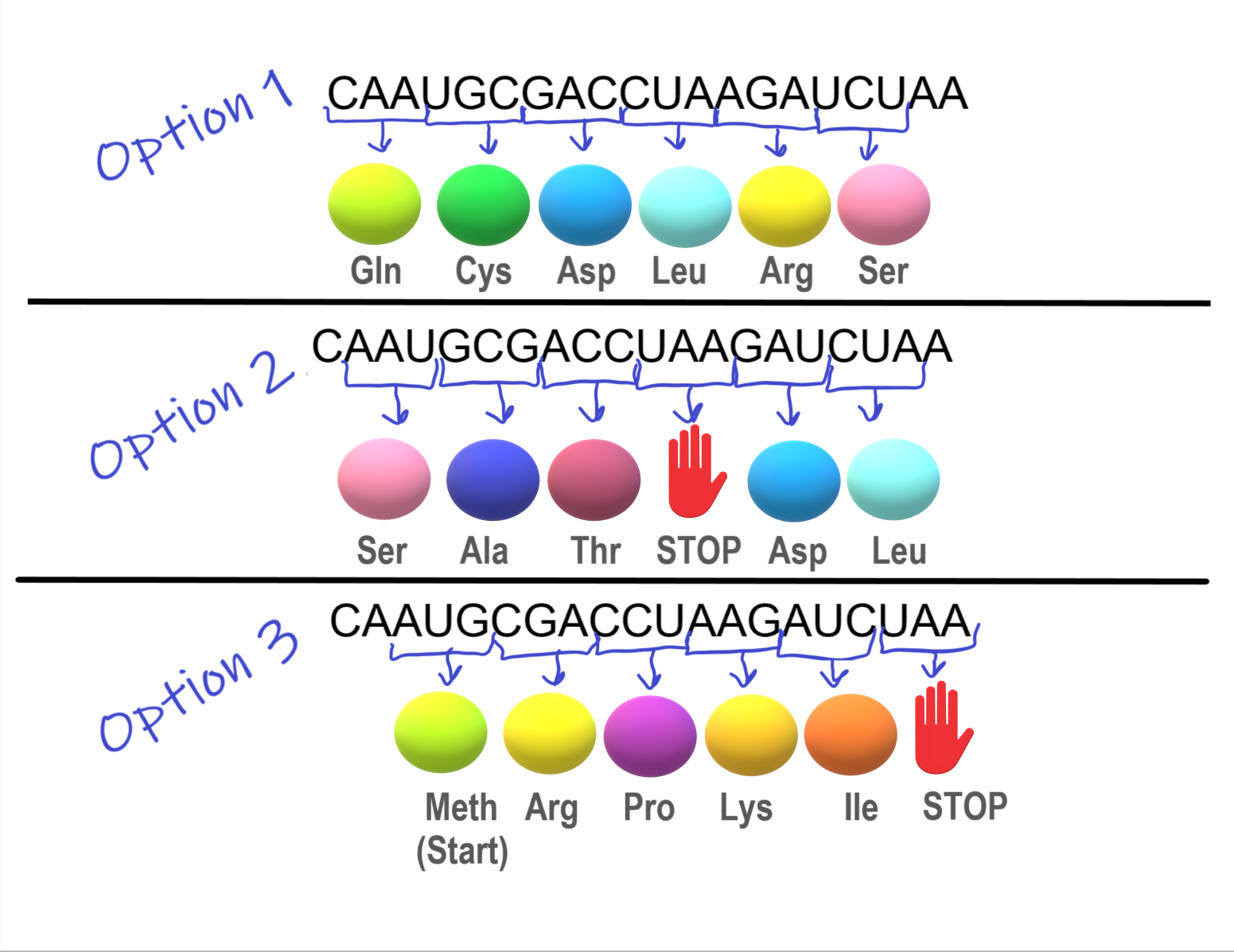 Illustrates the importance of the reading frame and the start codon in decoding mRNA
