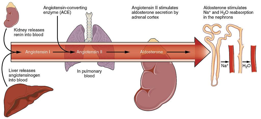 16.4.9 Regulation of Blood Pressure