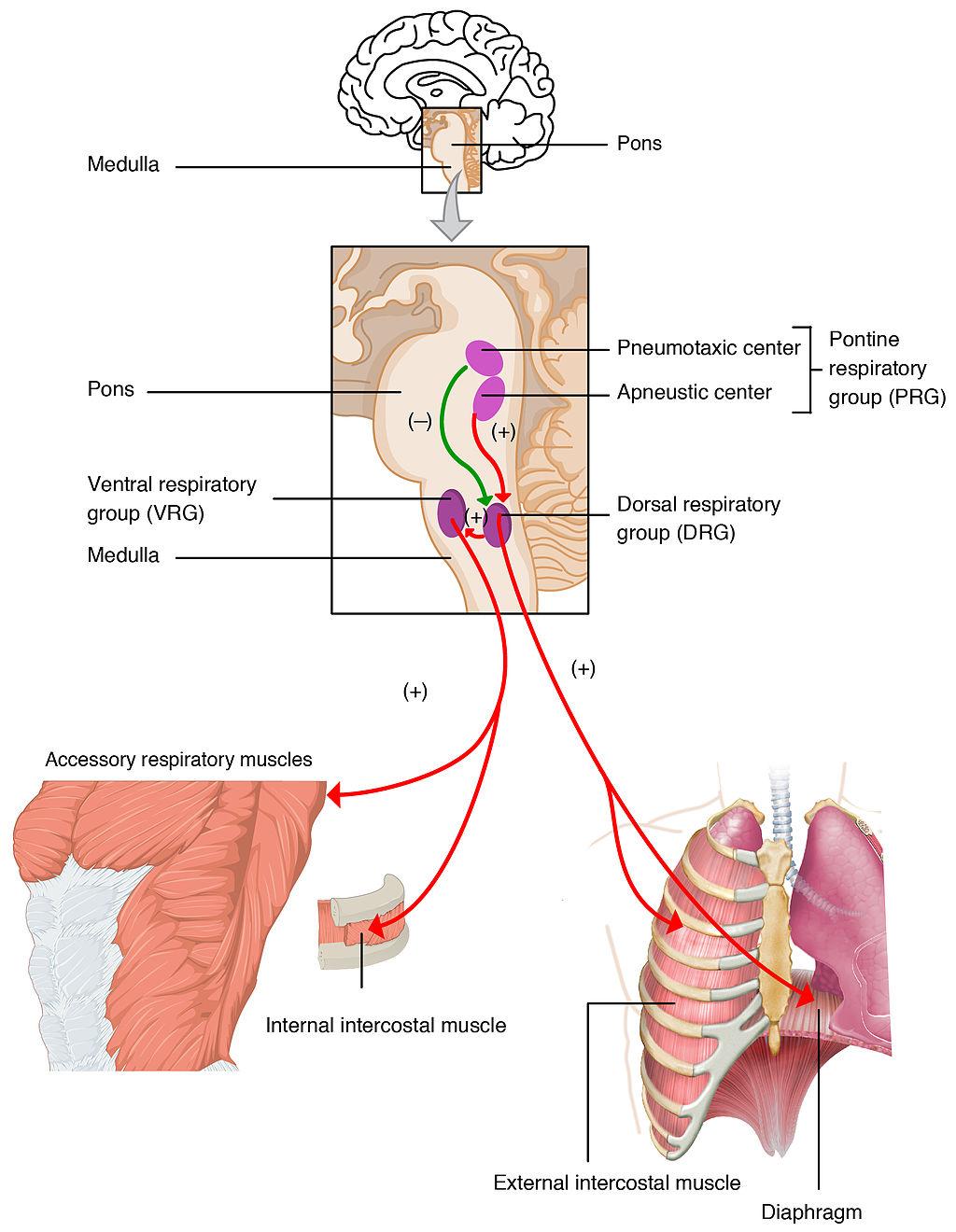 13.3.4 Nervous Control of Respiration