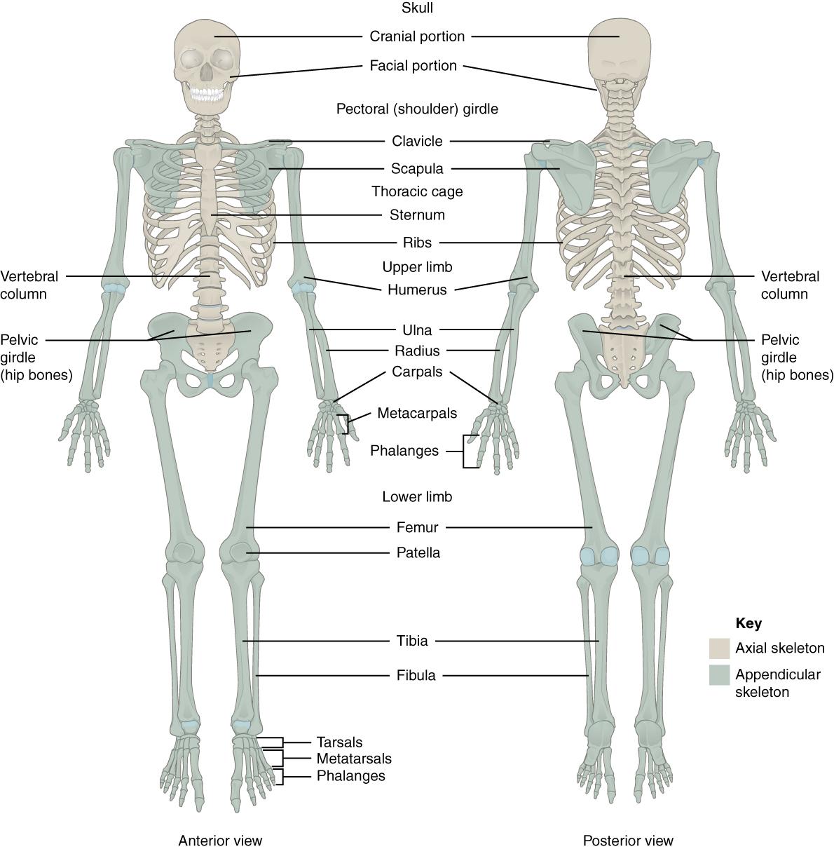 11.2.2 Skeleton