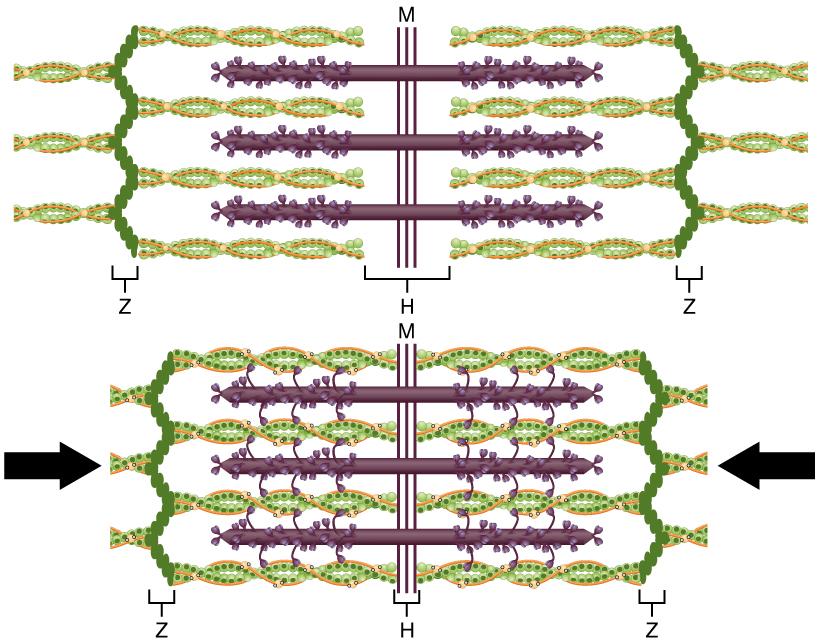 12.4.3 Sliding Filament Theory